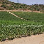 vineyard in the italian wine region of sardinia pardu