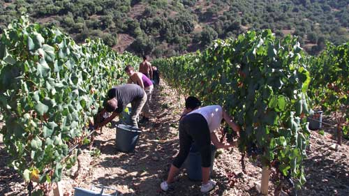 picking the grapes in the vineyard