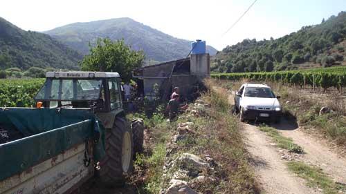 grape harvesting day scenery