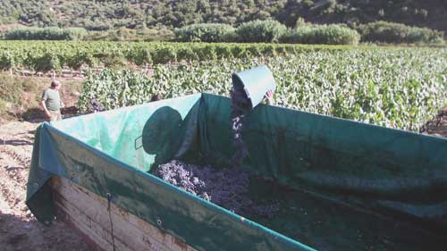empting the buckets of grapes