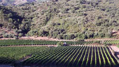 grape harvest vineyard