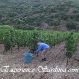 grape harvesting in sardinia italy