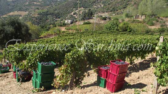 grape picking in sardinia italy