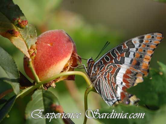 a butterfly posing on a ripe peach sardinia italy