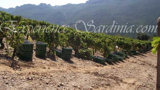 sardinia vineyard harvesting the cannonau grape