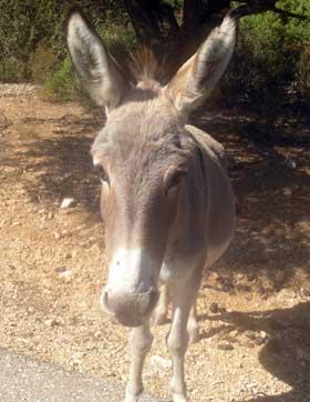 a donkey strolling the golgo of baunei