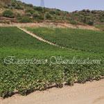 vineyard in the italian wine region of sardinia pardu