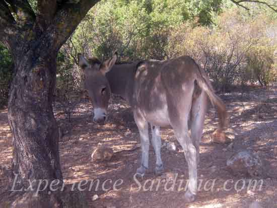 a donkey roaming in to baunei moutains sardinia italy