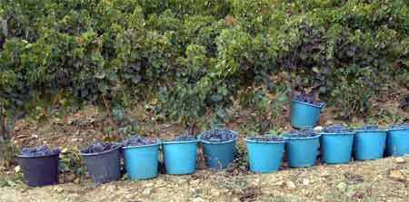 sardinia grape harvest