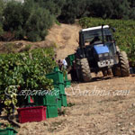 grape picking scene in an italian vineyard