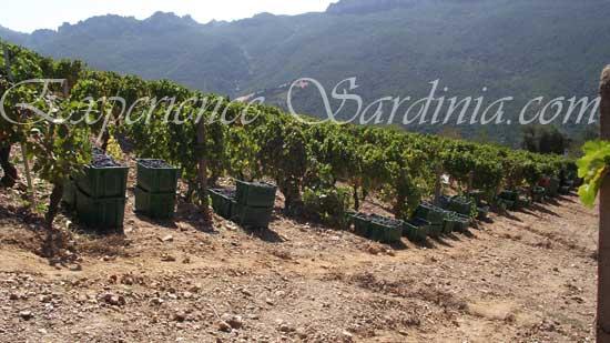 sardinia vineyard harvesting the cannonau grape